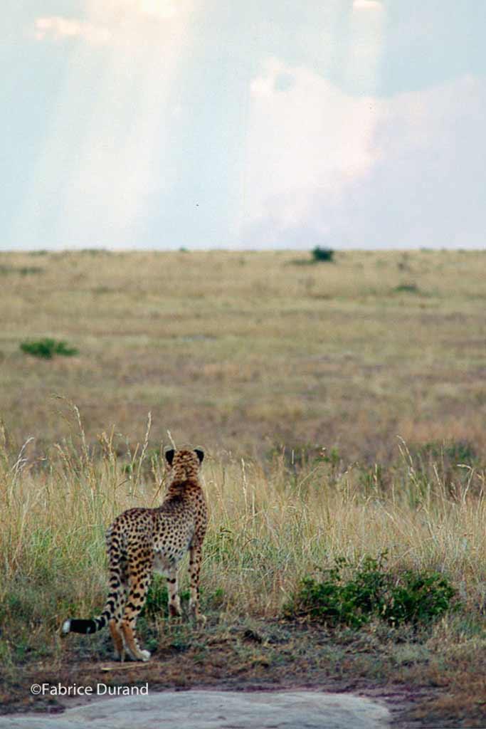 Guepard savane Kenya
