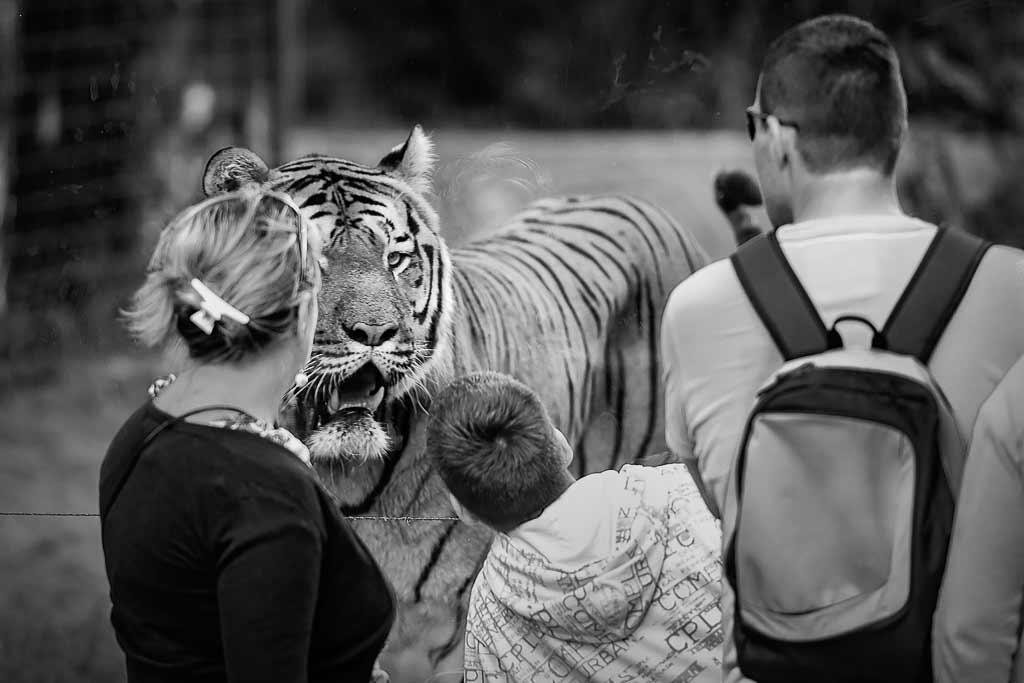 Une famille au zoo observent un tigre protégée derrière un plexiglas