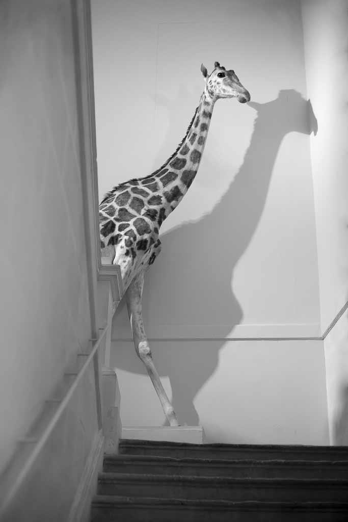 Rencontre incongru d'une girafe dans l'escalier du musée d'histoire naturel La Rochelle
