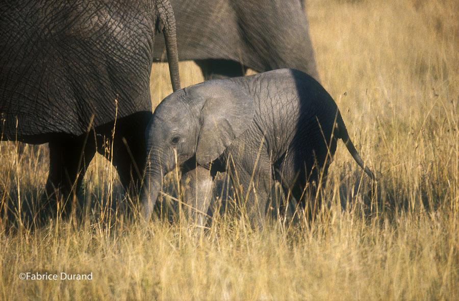 elephanteau savane Kenya