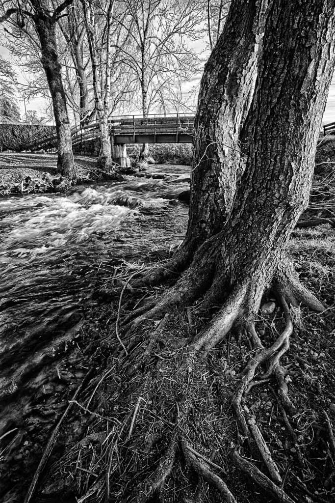 Un arbre avec les racines dans l'eau de la rivière Jussac Cantal