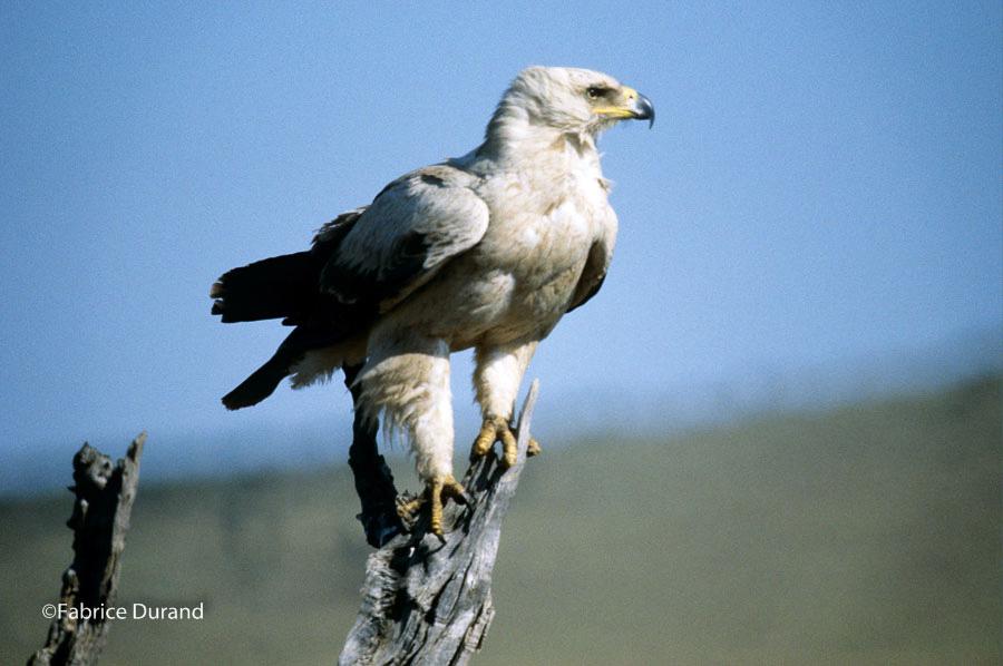 aigle pecheur savane Kenya