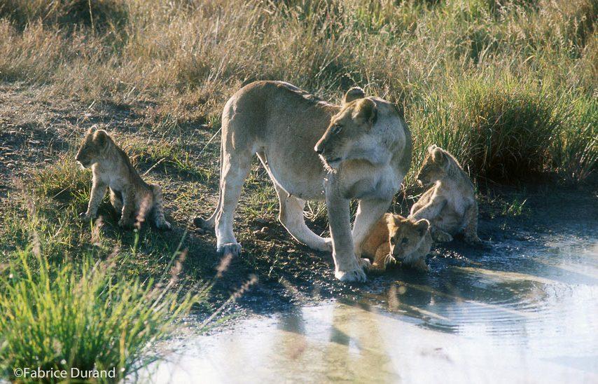 Lionnes et lionceaux savane Kenya