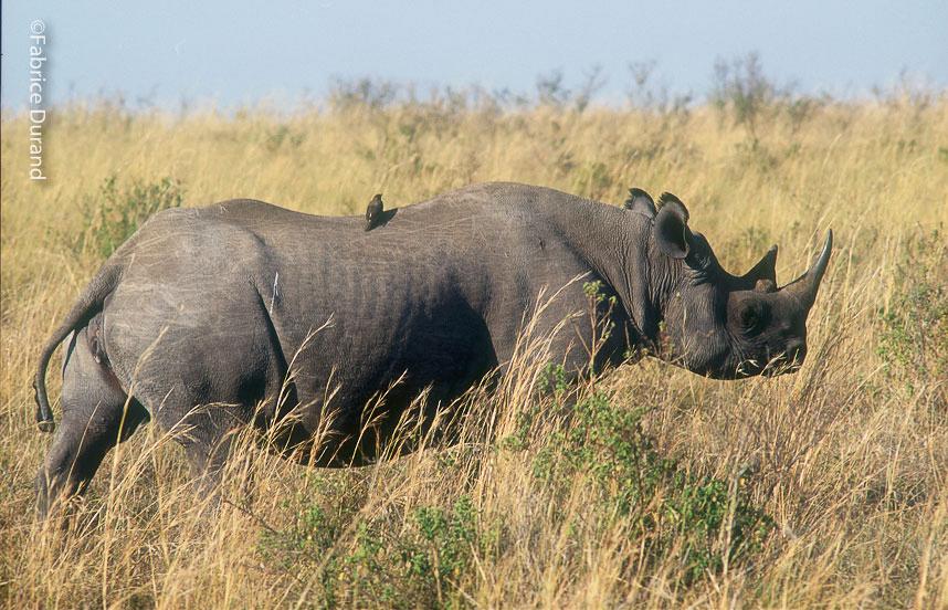 un rhinocéros Noir et son Pic Boeuf savane Kenya