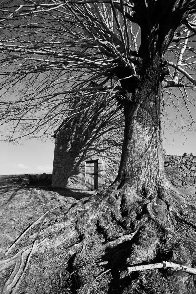 arbre centenaire projetant l'ombre de ses branches sur un vieux buron Cantalien