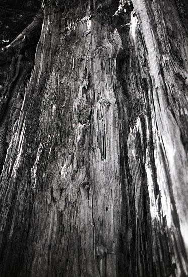 Intérieur tronc d'arbre touché par la foudre