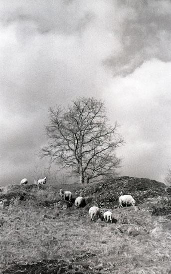 Colline aux moutons Cantal