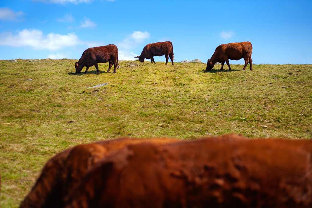 Effet de symétrie de vaches Salers dans un près.