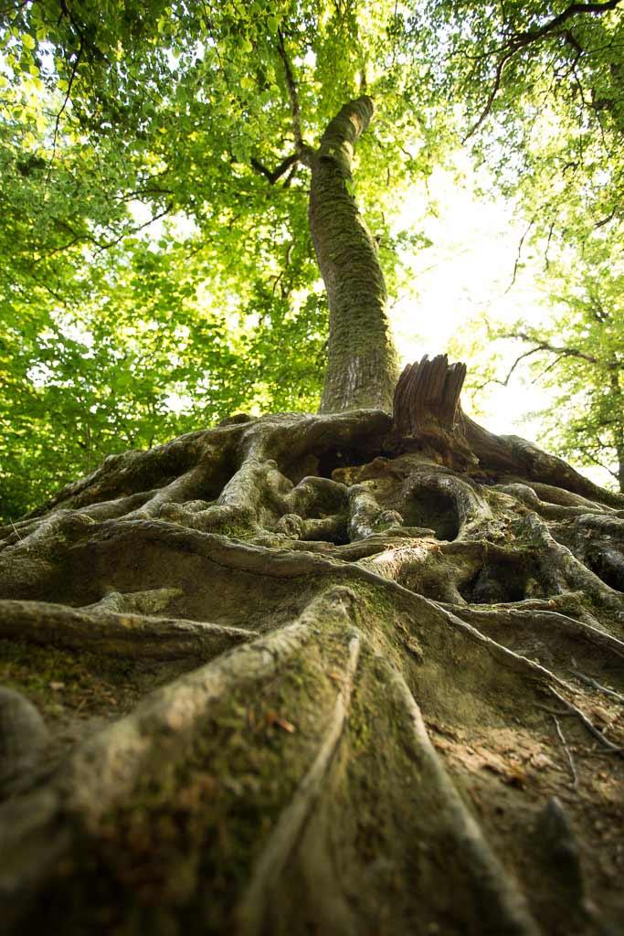 Racine d'arbre en contre plongés