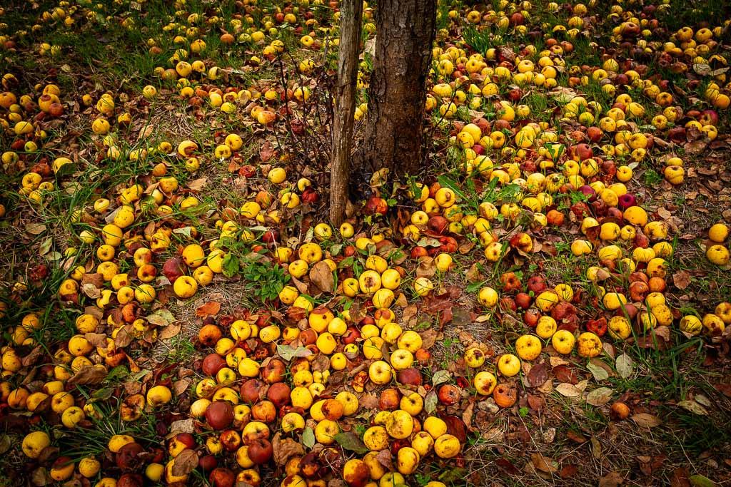 Pommes tombées au pied de l'arbre