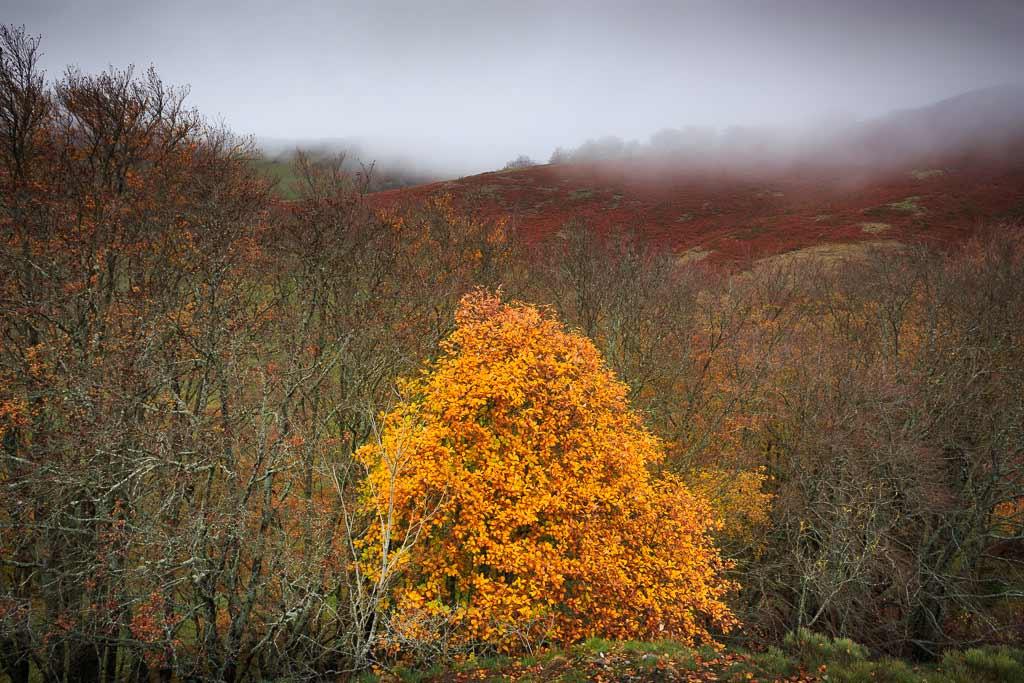 Le dernière arbre avec ses feuilles d'or hivers dans le Cantal
