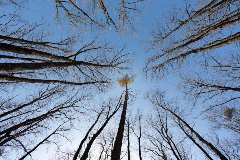 cime des arbres fin hivers 2021